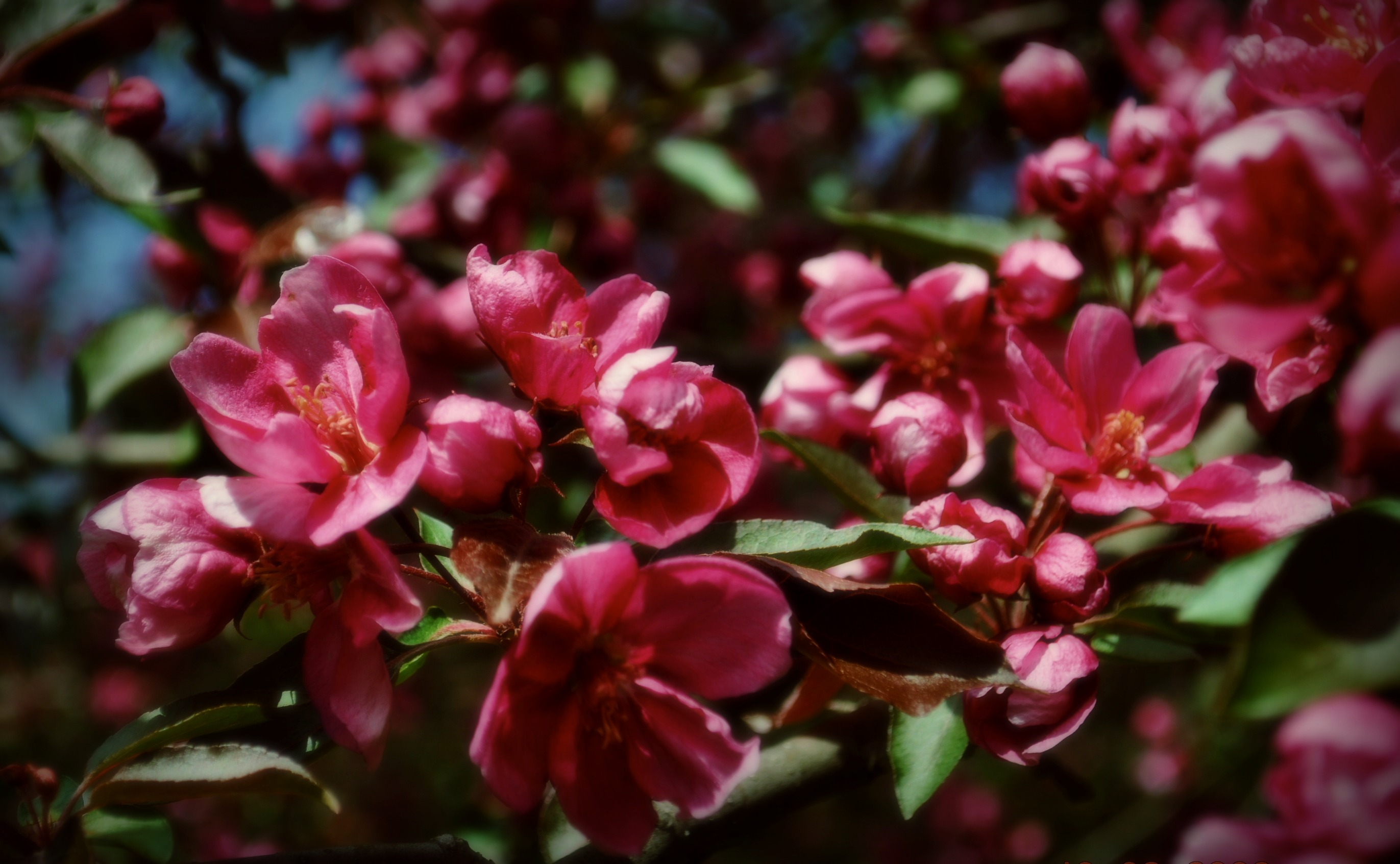 Crab Apples…can you eat 'em?   A Winsome Journey ~ imagine ...