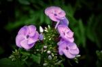 july purples