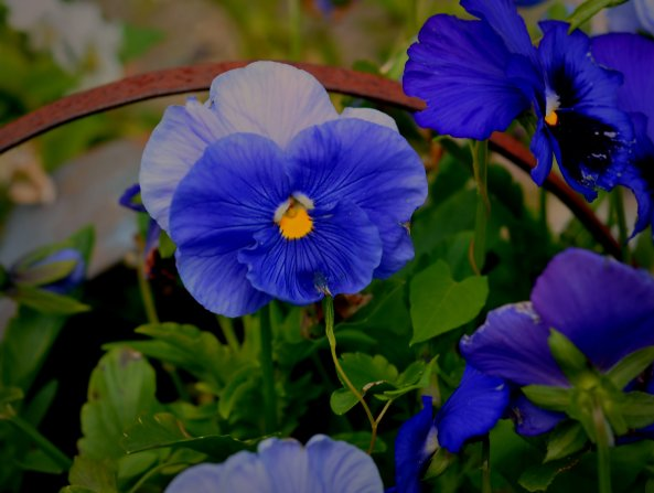 pansy and iris