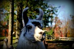 a llama run to CT