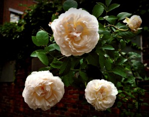 Boston heritage roses