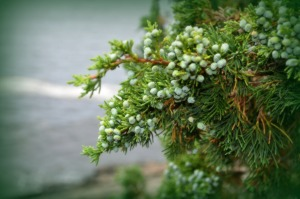 Ogunquit juniper berries